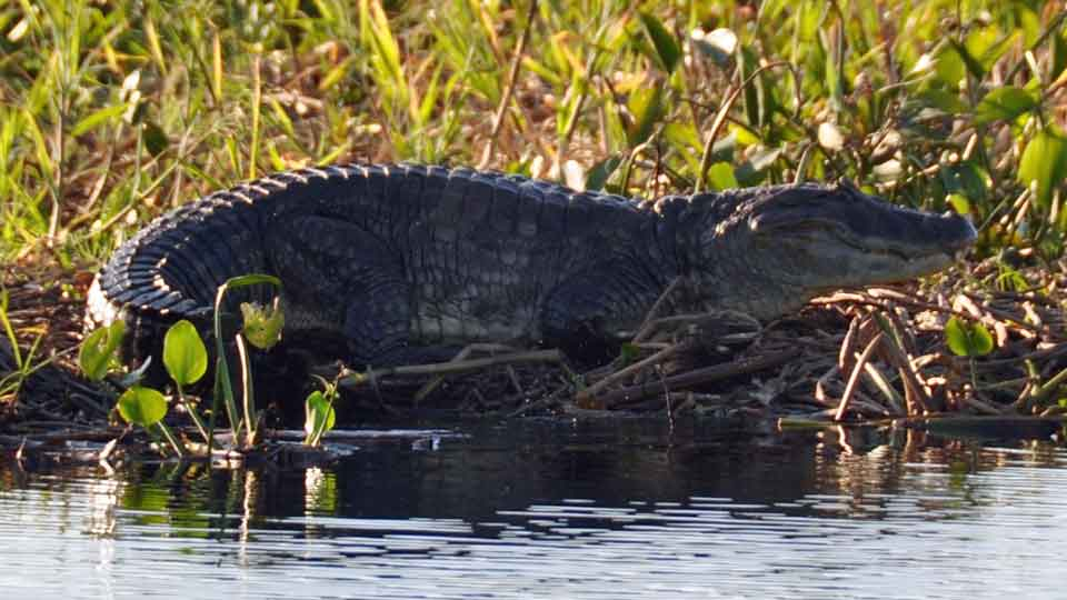 Caiman at Dorado Cua