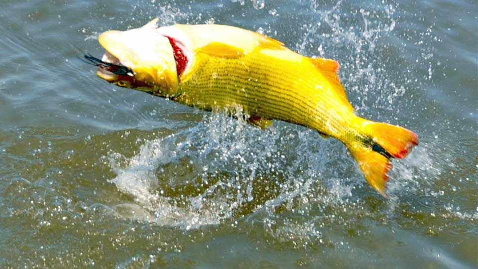 Golden dorado fishing