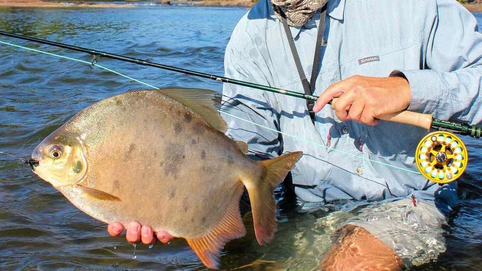Kenjam pacu fishing